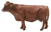 LITTLE BUSTER - 500260 - Red Angus Cow -